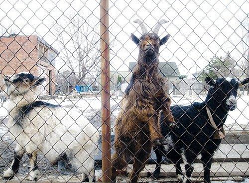 detroit-goats